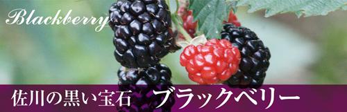 佐川の黒い宝石 ブラックベリー